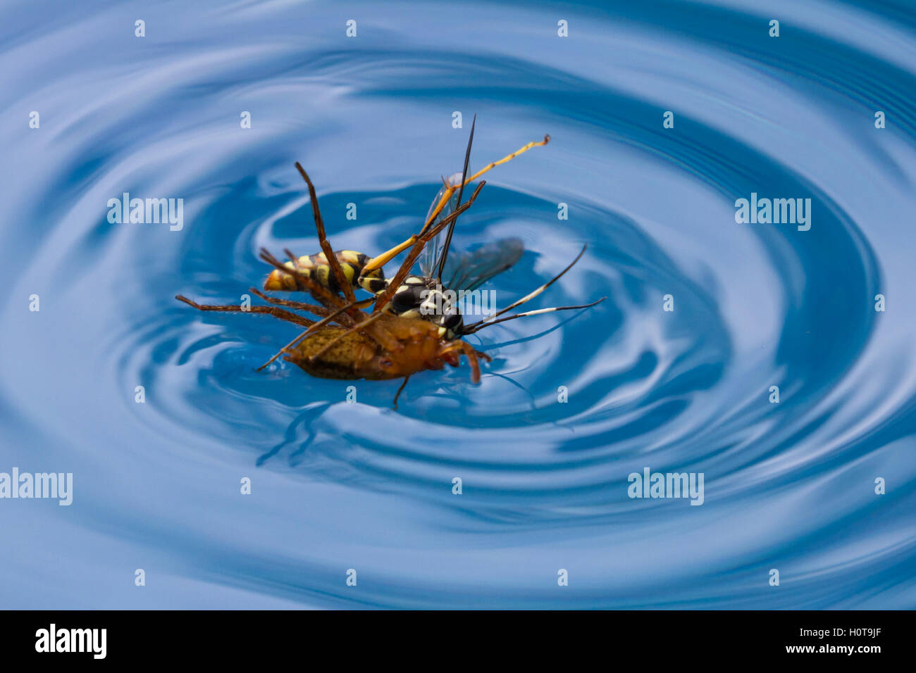 Swimming Pool Action : Spider eating wasp stock photos