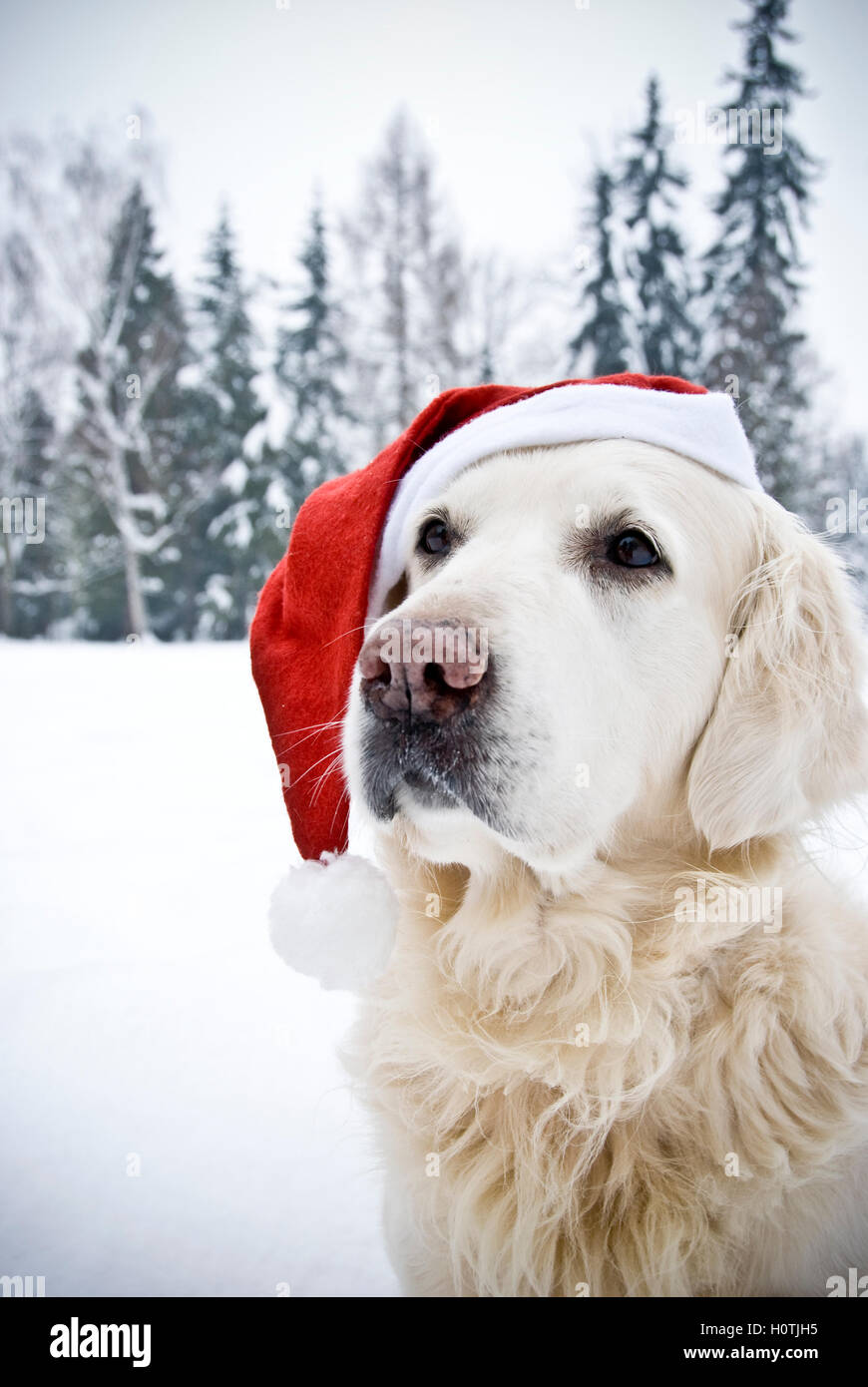 golden retriever with Santa hat - Stock Image