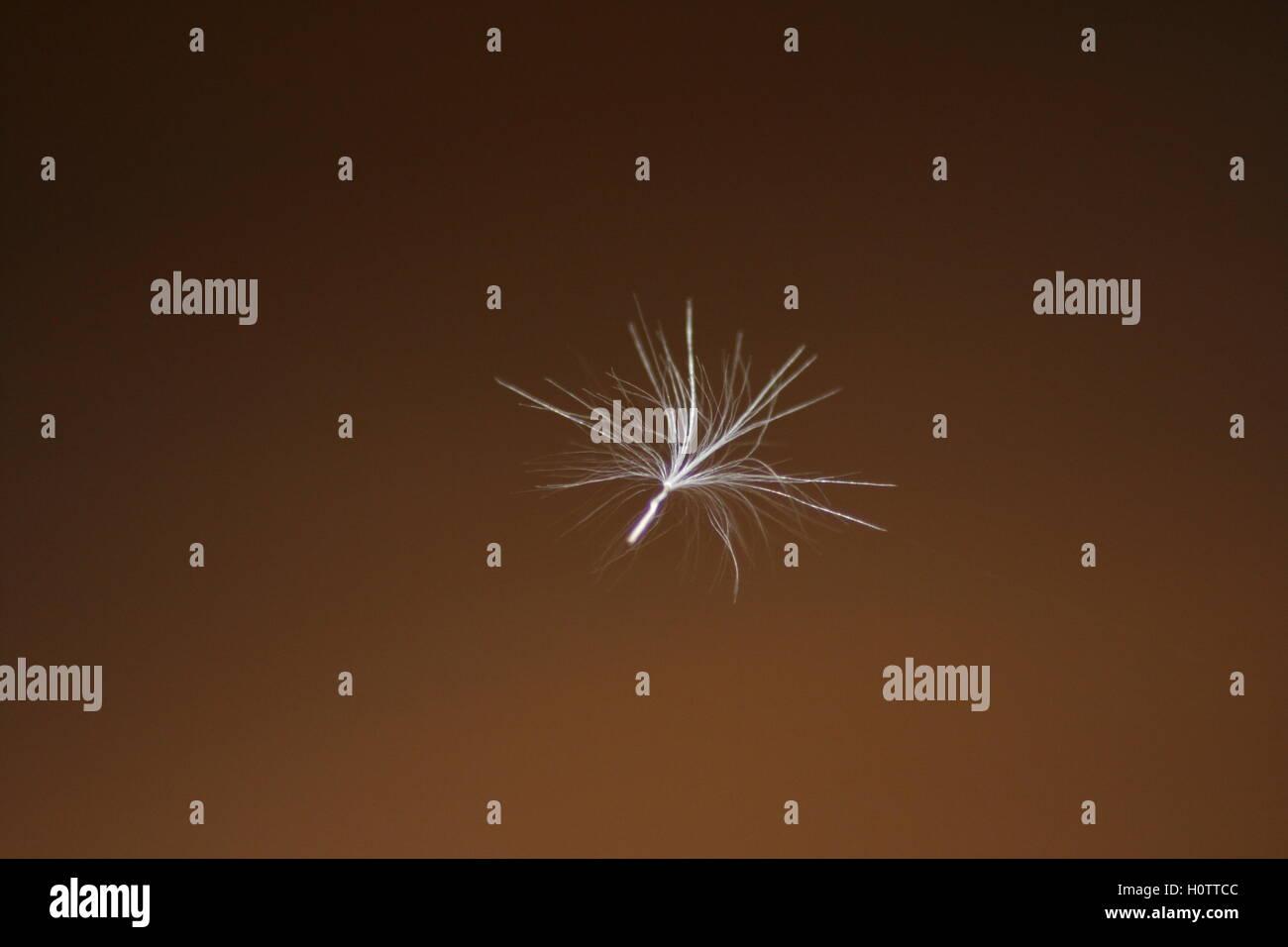 Dandelion fluff on brown - Stock Image