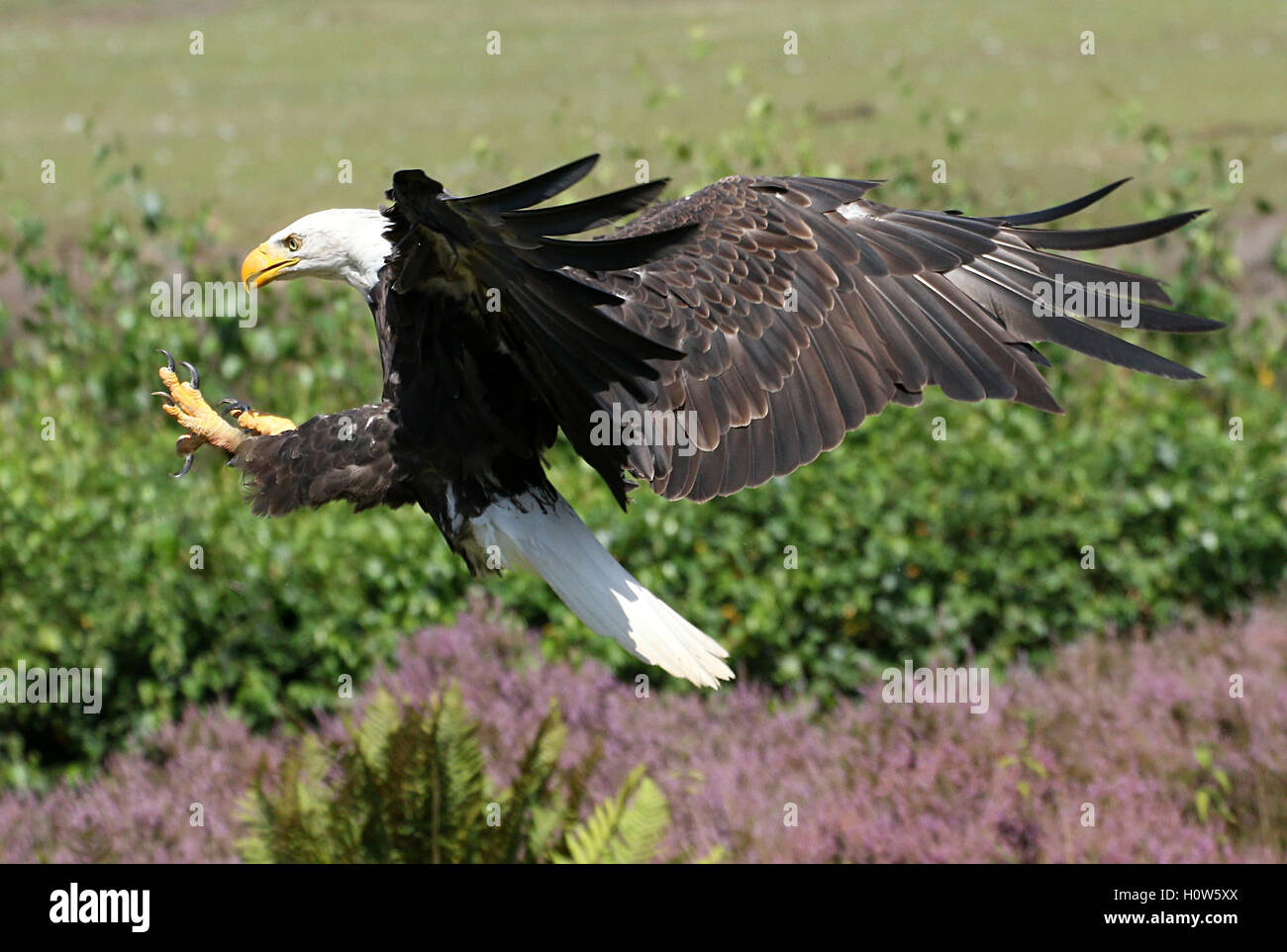 American Bald eagle (Haliaeetus leucocephalus) in flight, incoming for landing, talons outstretched Stock Photo
