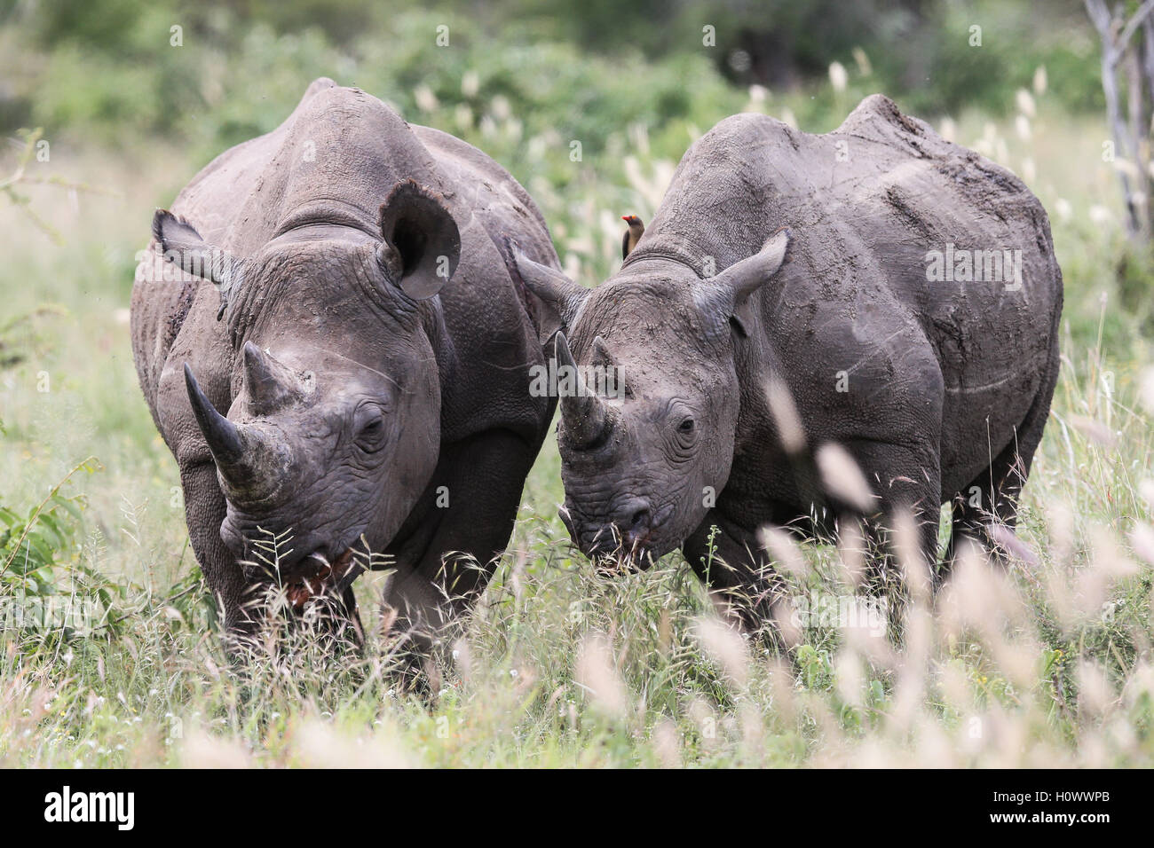 Male and Female Black Rhino grazing in the Kruger National Park South Africa - Stock Image