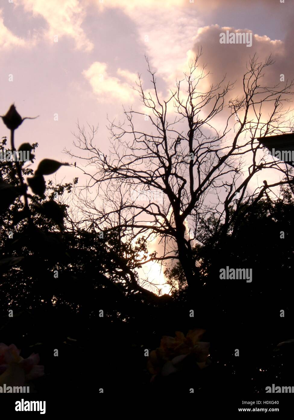 Looking up at a cloudy sky through leafless tree, rose in the foreground, silhouette - Stock Image