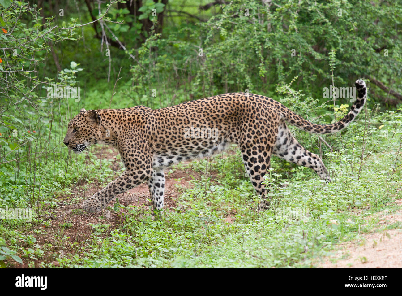 Leopard, Panthera pardus kotiya, in Yala National Wildlife Park, Sri Lanka - Stock Image
