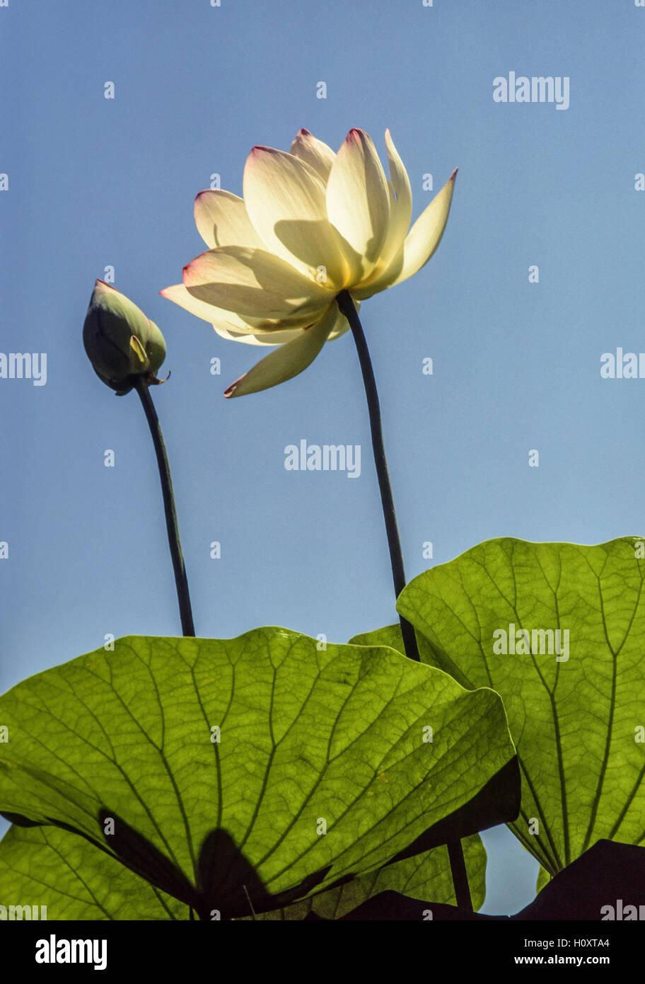 Chinese lotus flower stock photos chinese lotus flower stock chinese loutus flowerbud and leaves stock image izmirmasajfo