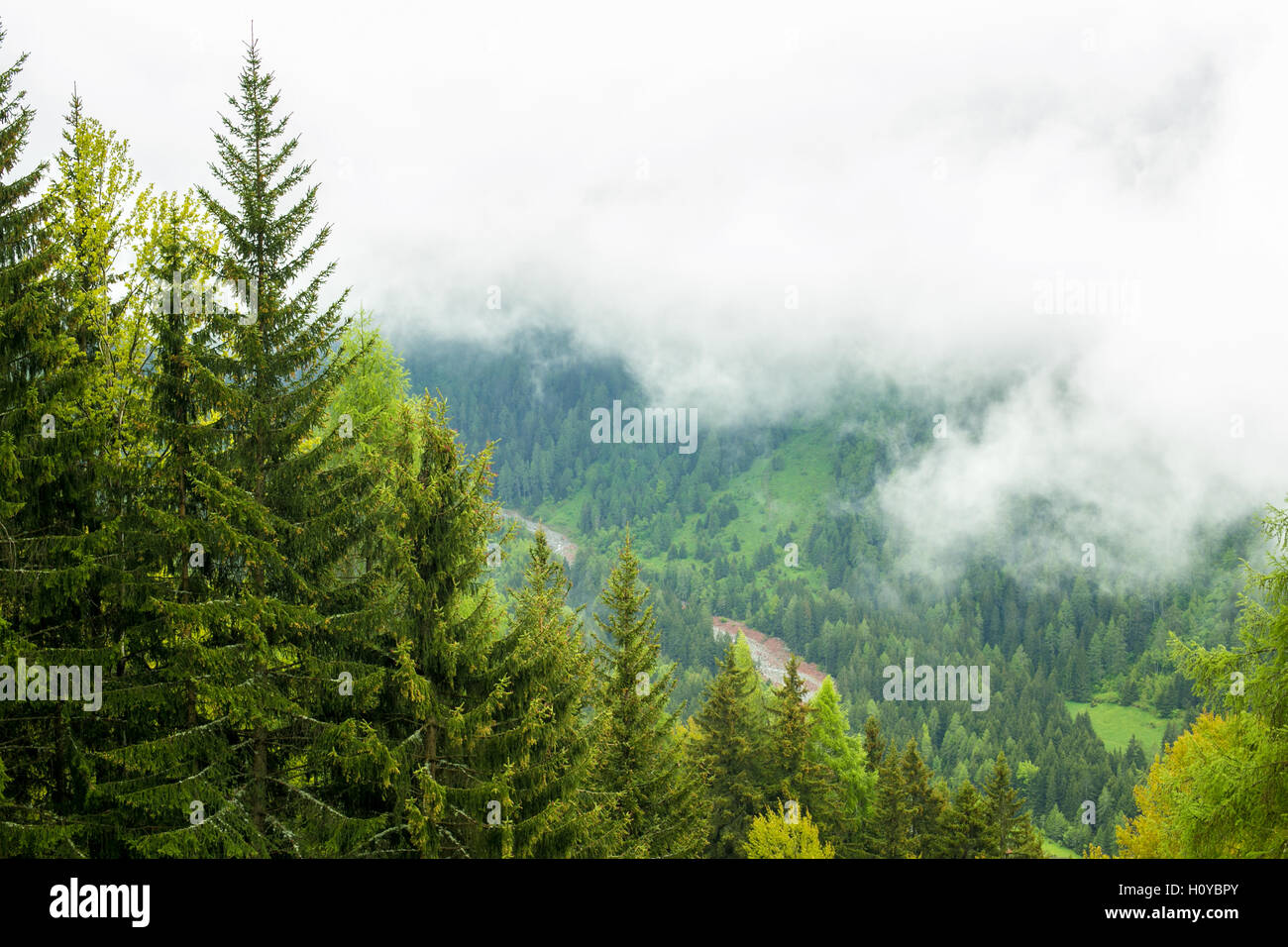 Forested mountain in cloud with the evergreen conifers - Stock Image