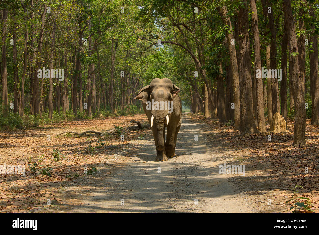 Elephant walking along the safari road - at Corbett National Park (India) - Stock Image
