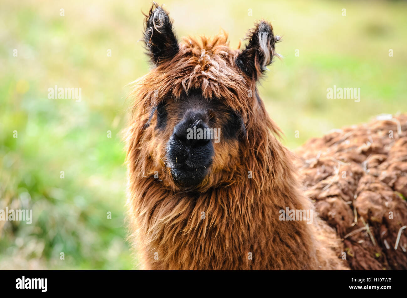 Norway, Oppland, Valdres. Domestic Lama at Beitostølen. - Stock Image