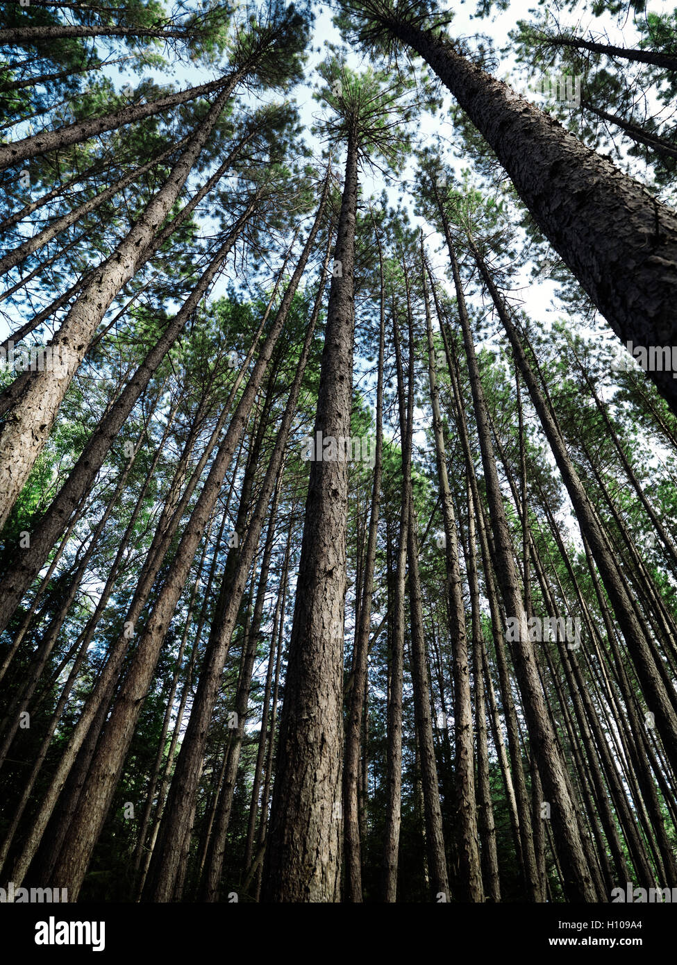 Artistic abstract image of tall pine tree forest, Muskoka, Ontario, Canada - Stock Image