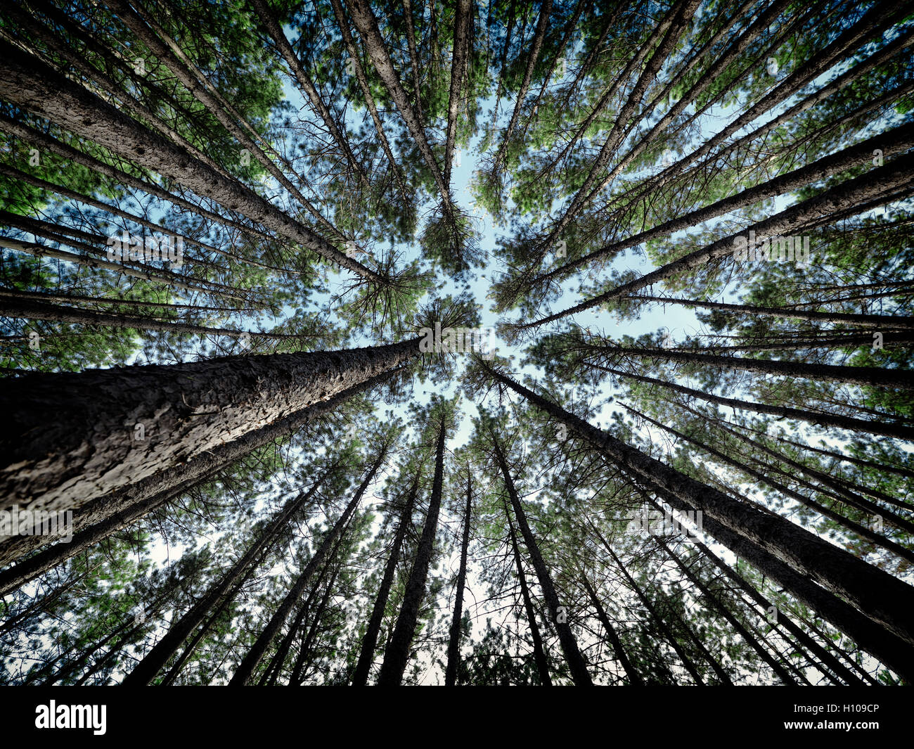 Artistic abstract image of tall pine forest tree tops over blue sky, Muskoka, Ontario, Canada - Stock Image