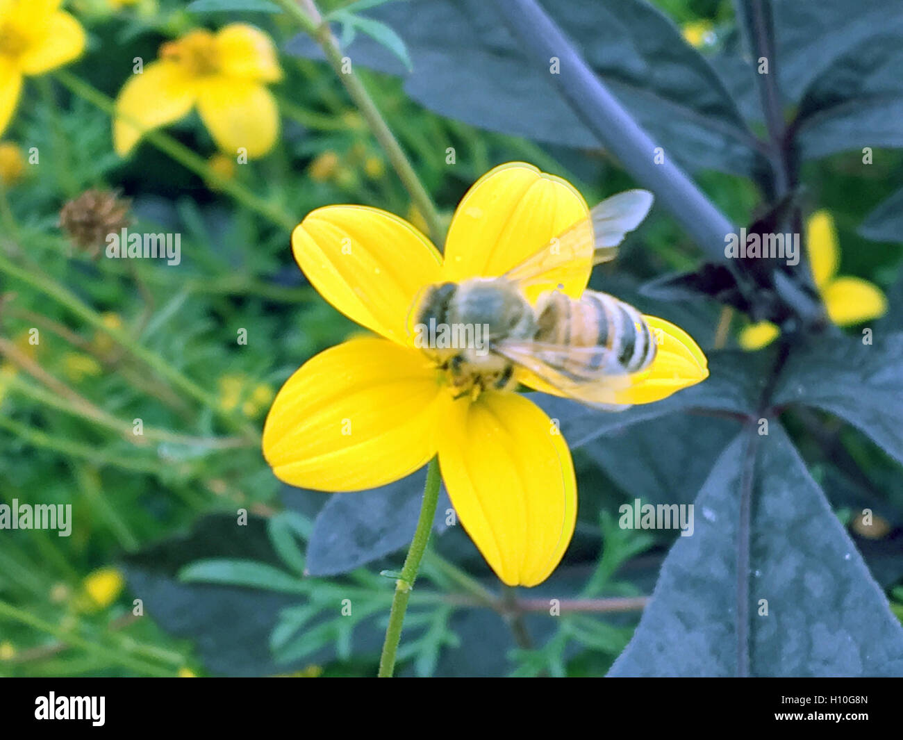 Bee on the Flowers in the little city's park under summer,nature - Stock Image