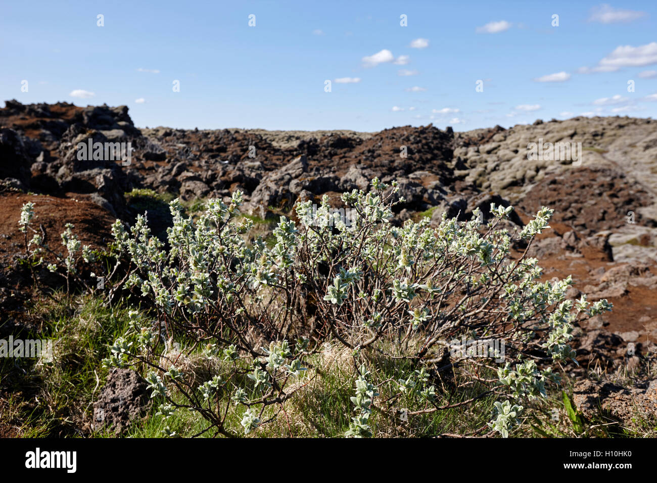 scrub and moss vegetation in lava fields of southern Iceland - Stock Image