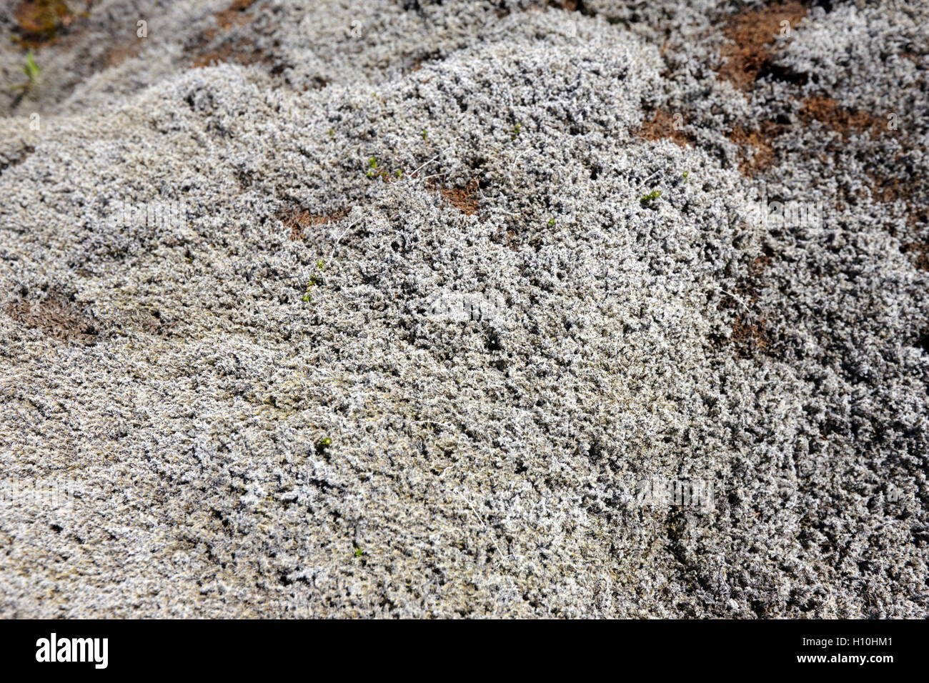 icelandic moss covering lava field in Iceland Stock Photo