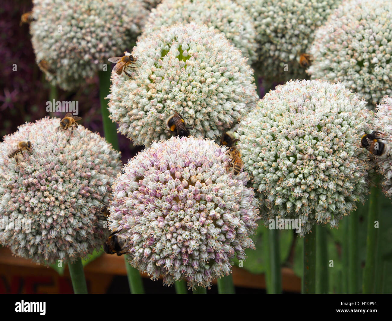 Close up shot of these allium ampeloprasum with white ball flowers close up shot of these allium ampeloprasum with white ball flowers taken at tatton park rhs flower show they were covered with bees foraging mightylinksfo