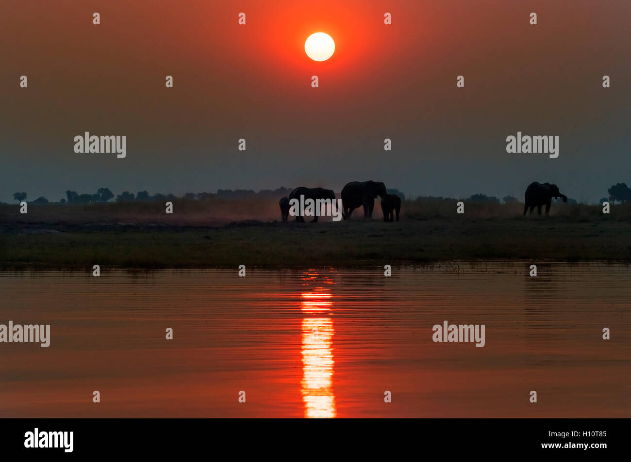 Silhouette of a herd of elephants at sunset in the Chobe National Park in Botswana; - Stock Image