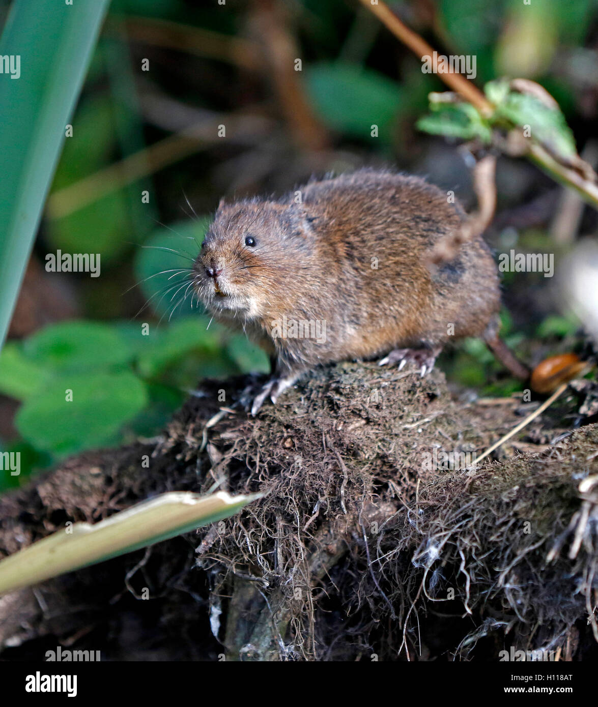 Water Vole (Arvicola amphibious), taken in the wild in Nottinghamshire, - Stock Image