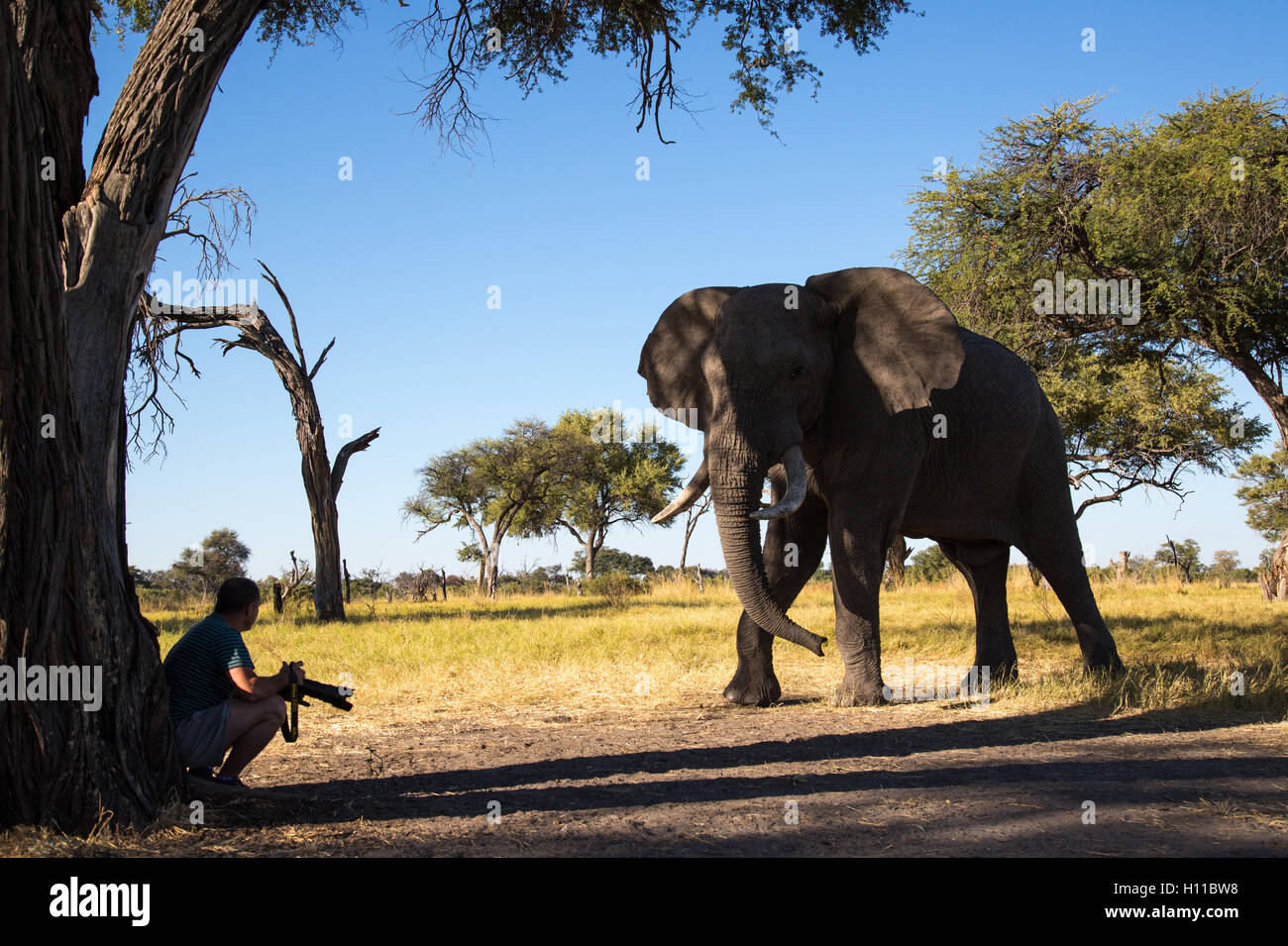 Closeup encounter between an elephant bull(Loxodonta africana) and a photographer in a camp site in Botswnana - Stock Image