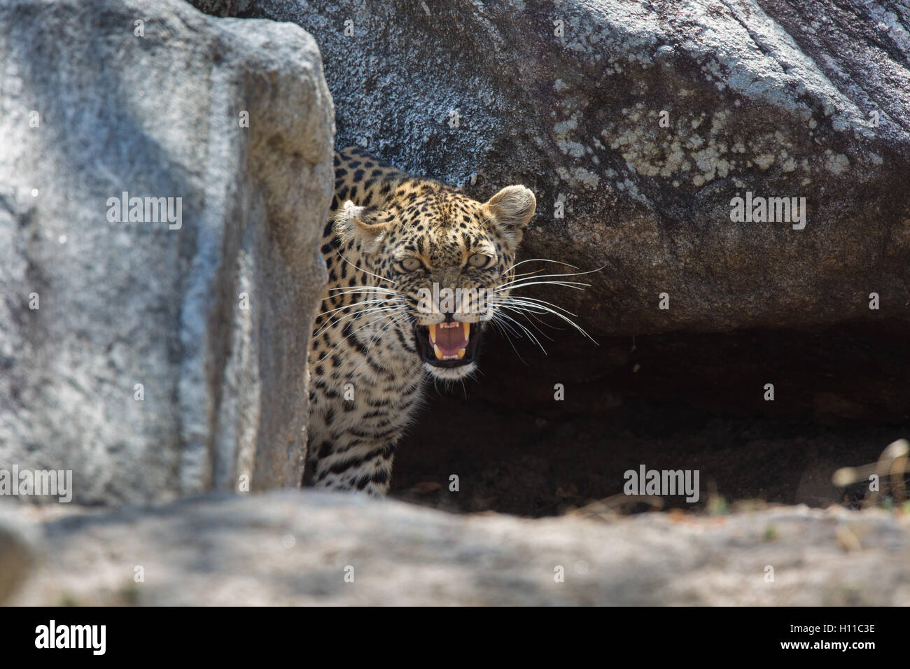 Female Leopard (Panthera pardus) snarling at her den site - Stock Image