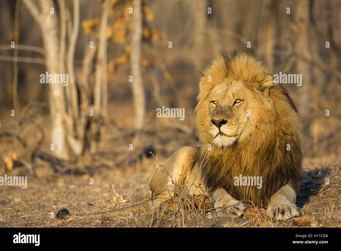 Frontal portrait of a male lion (Panthera leo) with a big mane in warm light - Stock Image