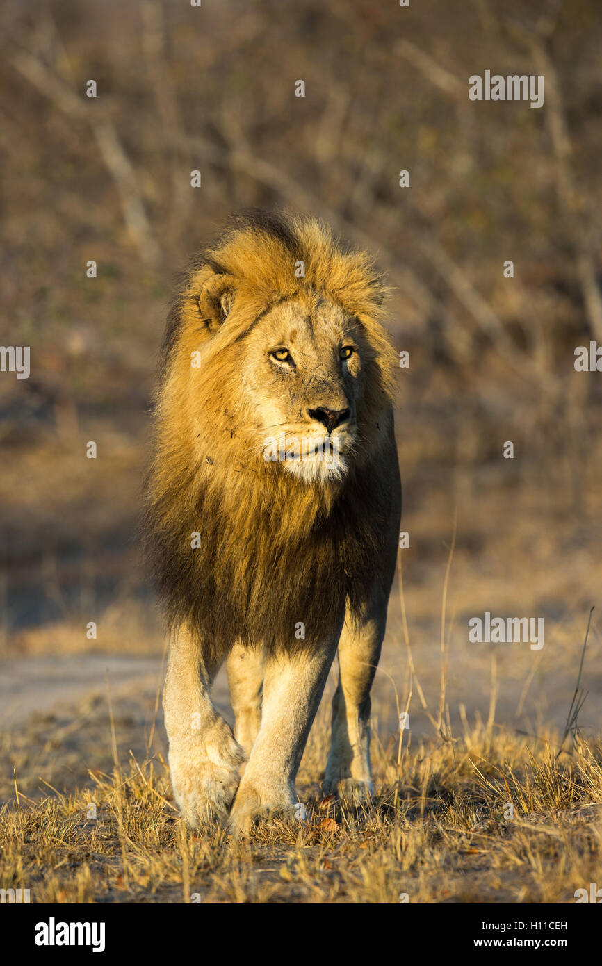Head-on view of a male lion (Panthera leo) in warm light staring intently ahead - Stock Image