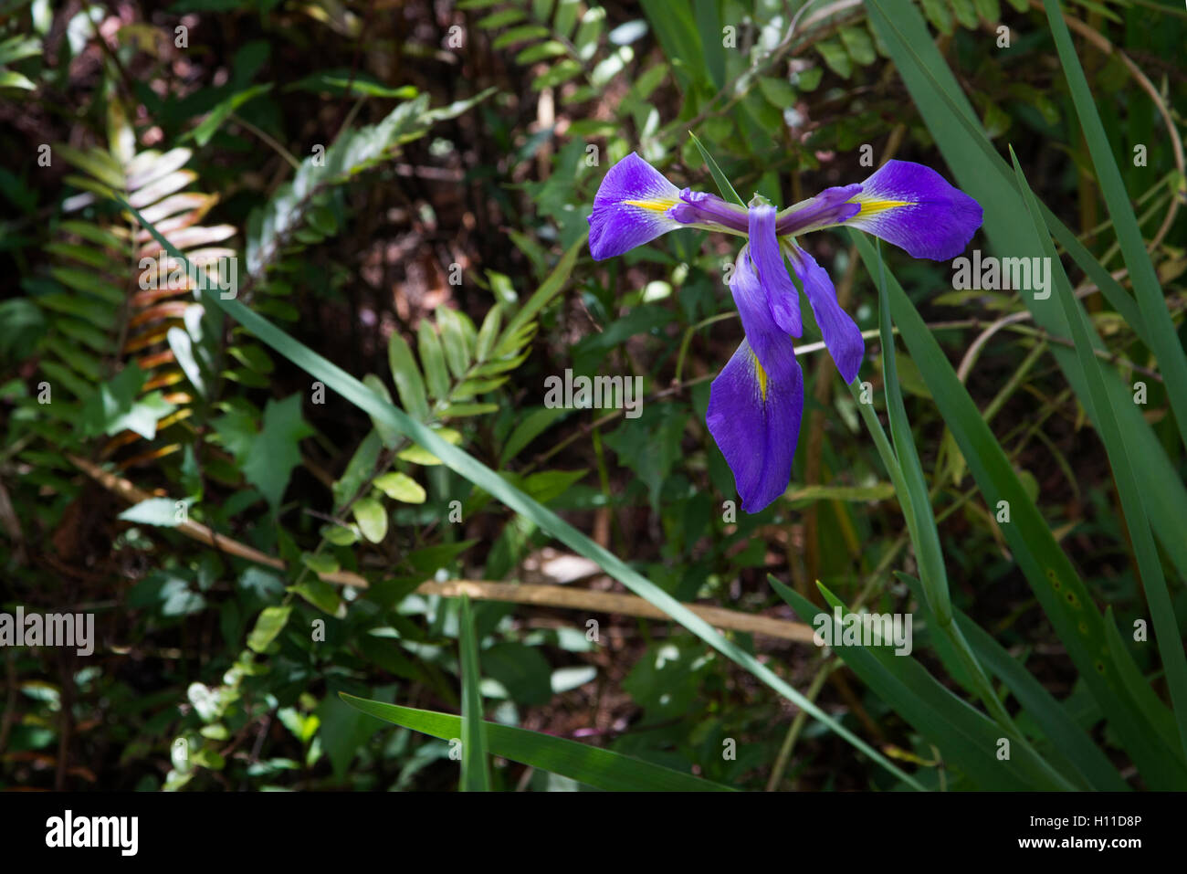 Wind and conditions on a sultry Florida day have draped the petals of this Blue Flag Iris into a lovely purple cross. - Stock Image
