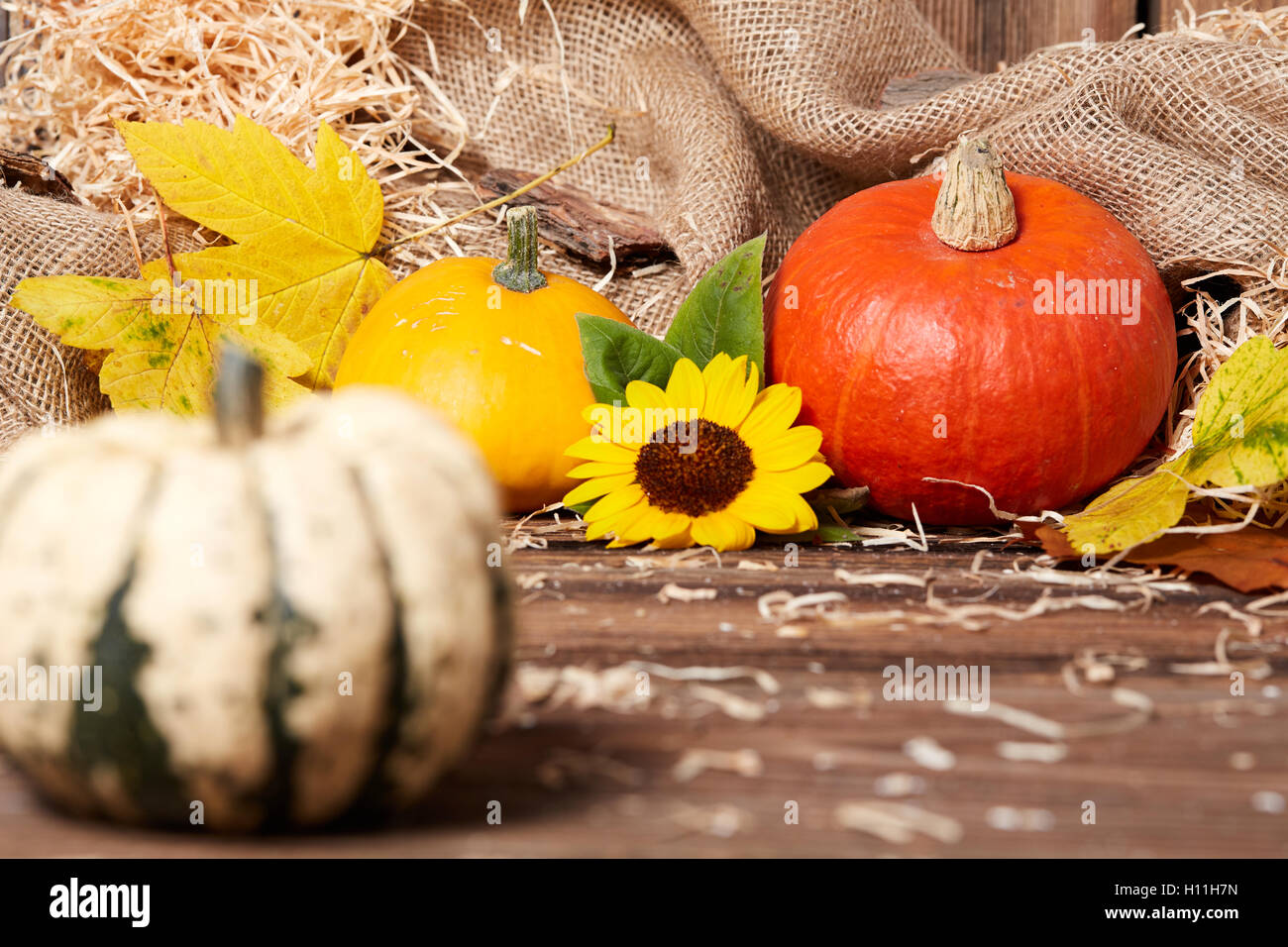 Autumn still life with pumpkin and sunflower as background - Stock Image