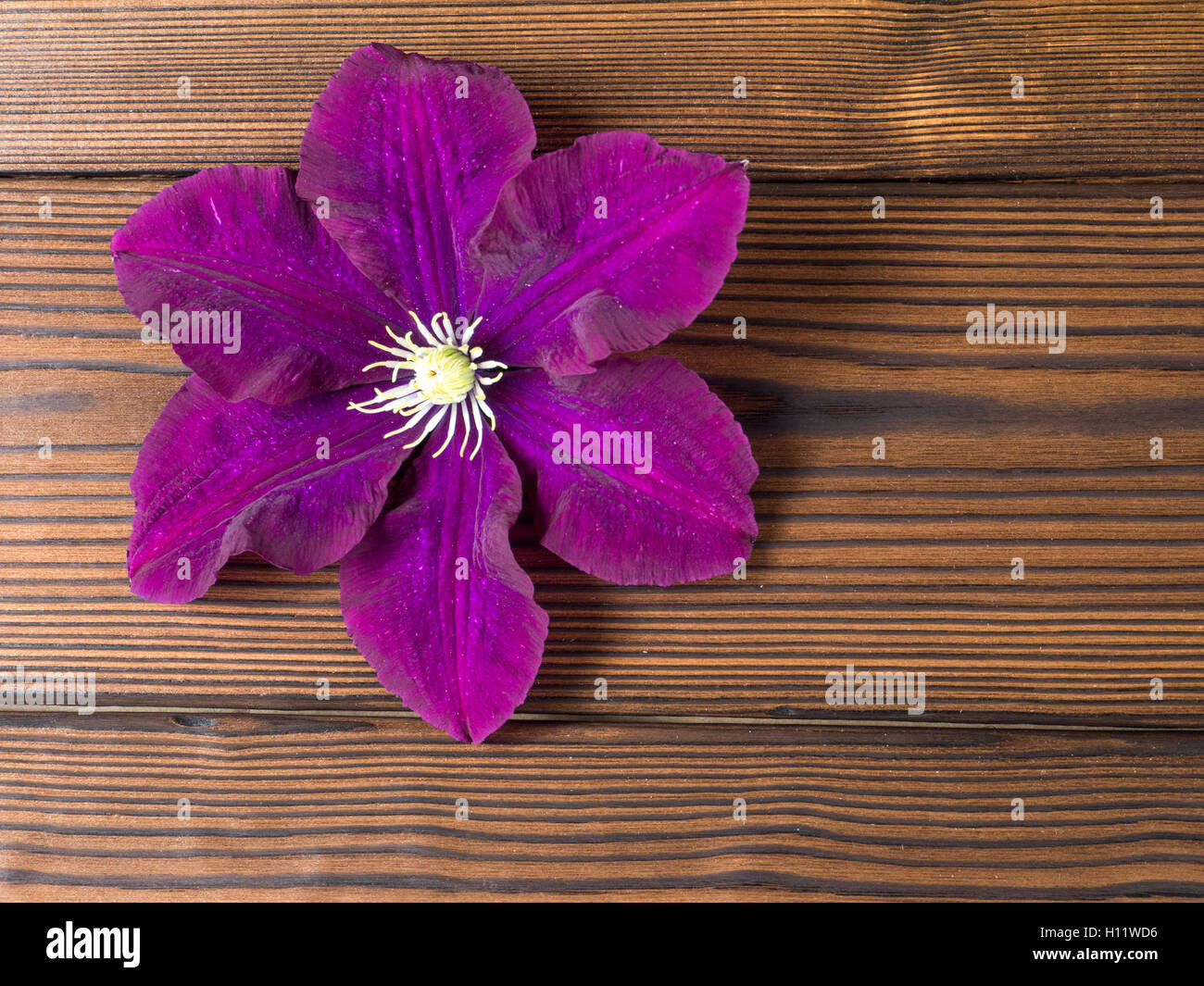 Dark purple clematis on the textured wooden planks - Stock Image