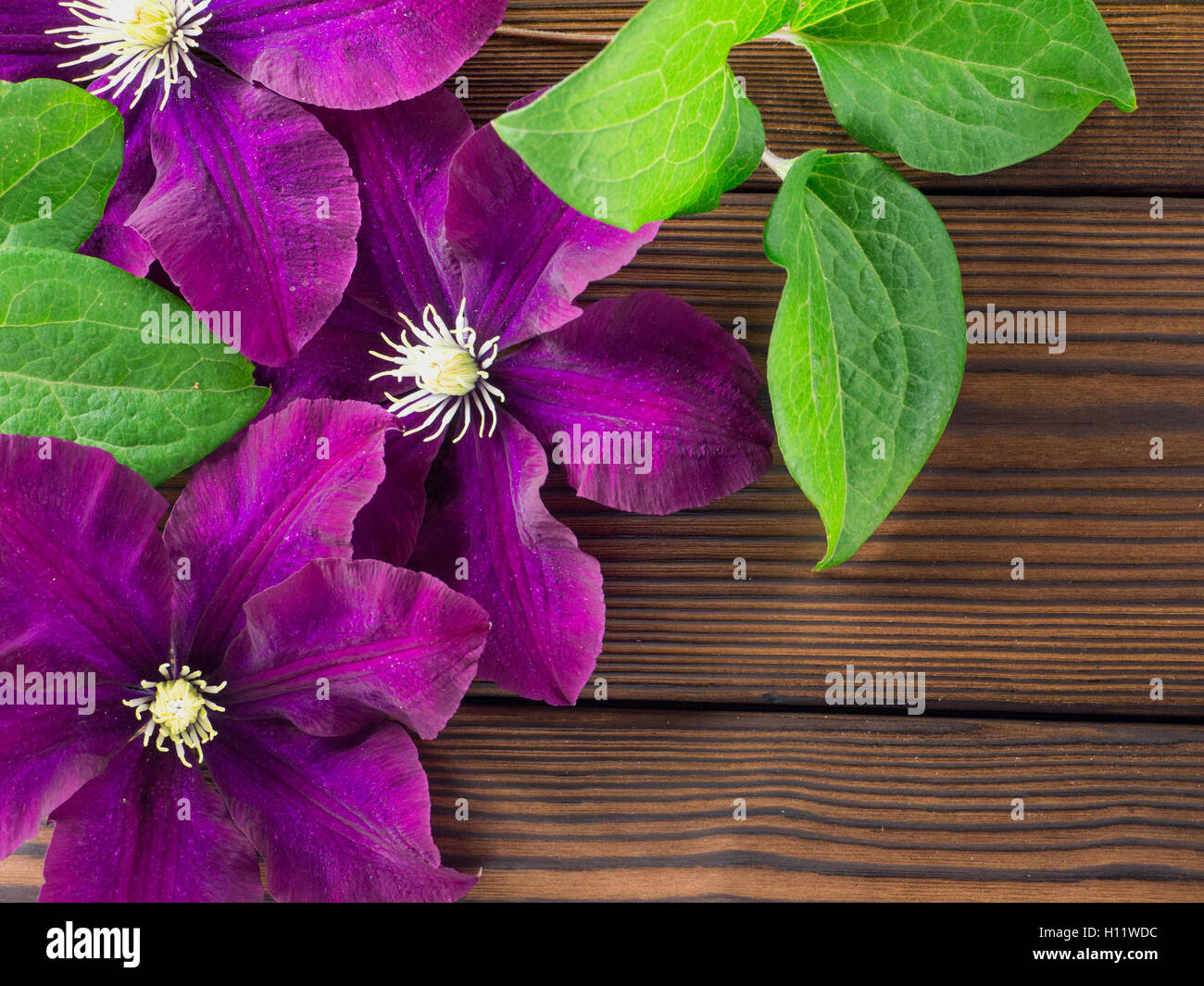 Three dark purple clematis flowers with leaves on the textured wooden planks - Stock Image