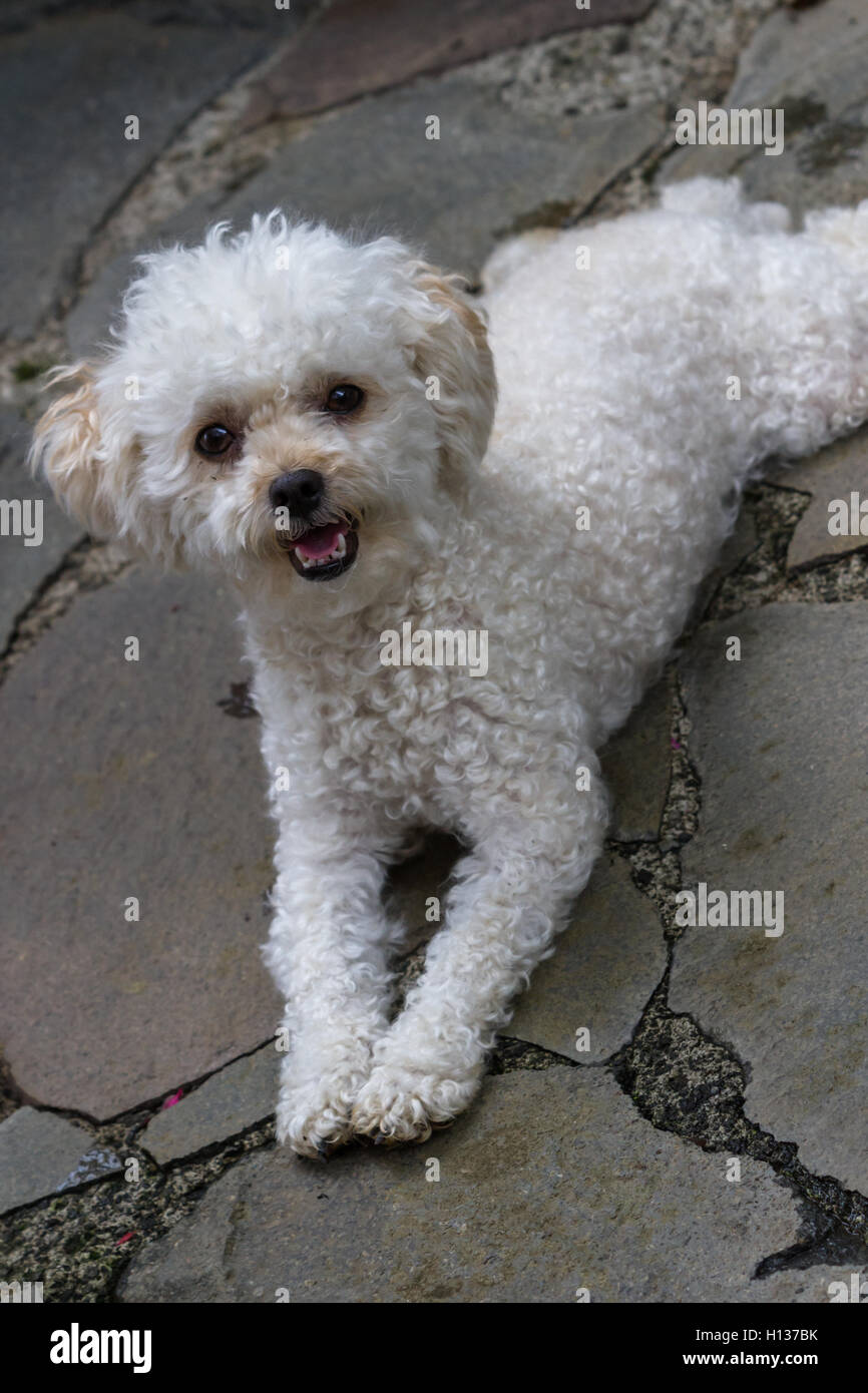 Close Up Of A Cute White Mini Toy Poodle Laying On Stone