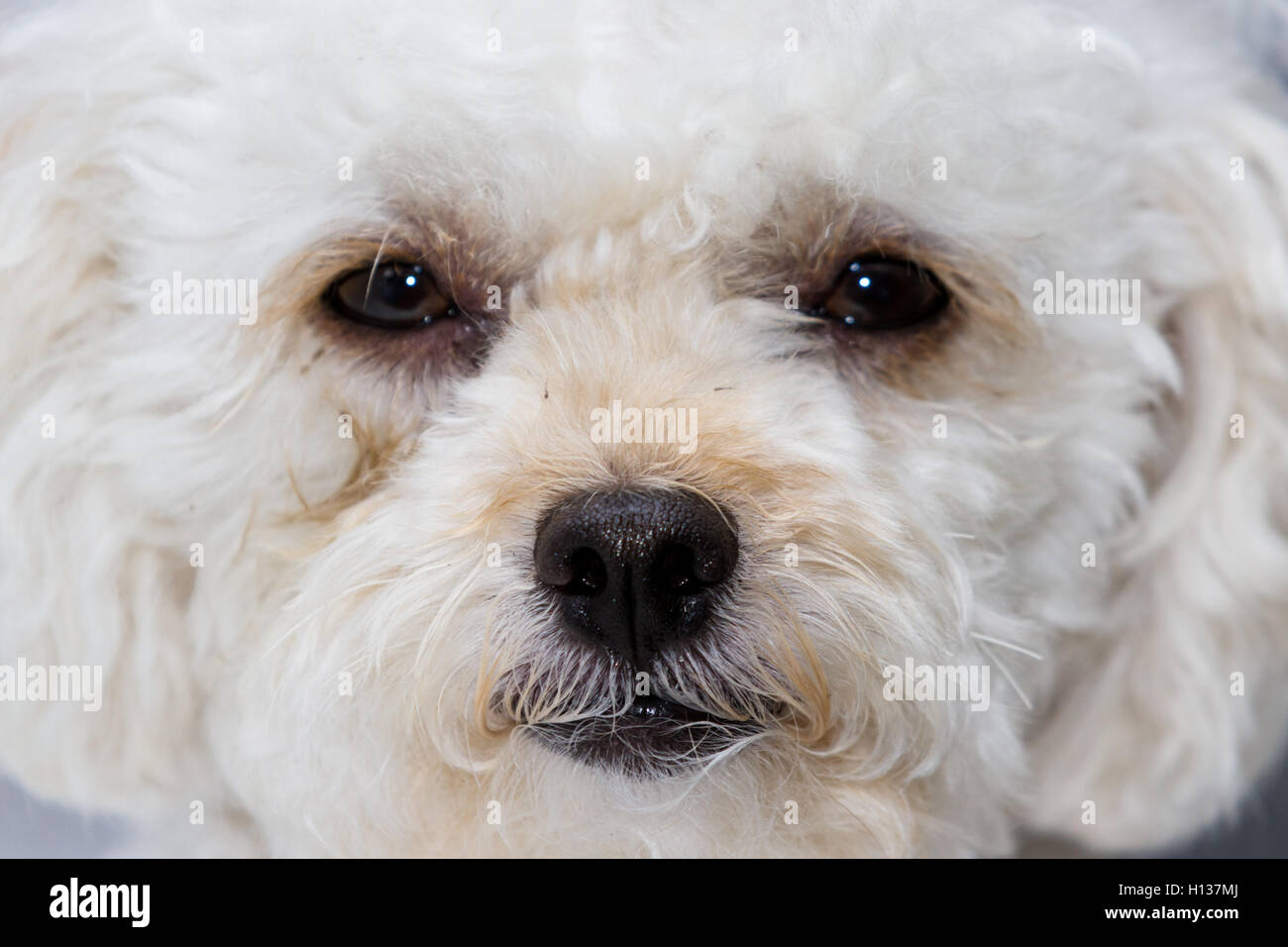 Close Up Of A Cute White Mini Toy Poodle With A Sad Facial