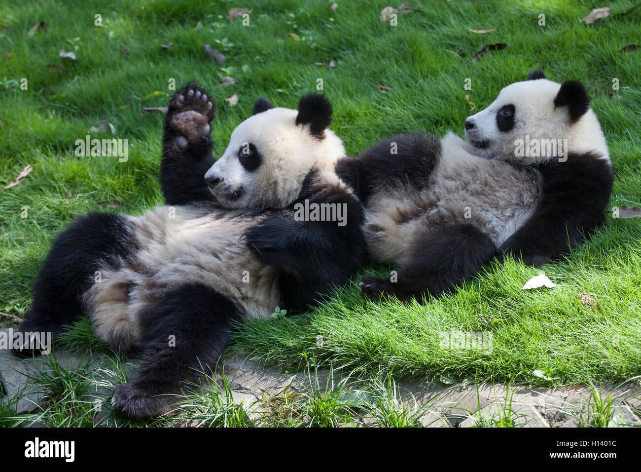 Giant Panda Cubs Playing Baby Panda Bear...