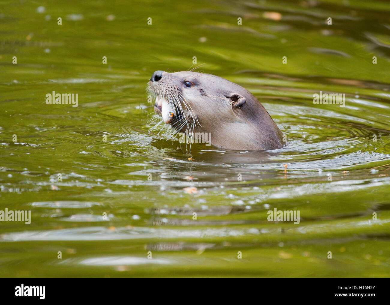 Eurasian otter (Lutra lutra) with a fish in its mouth, captive, Germany - Stock Image