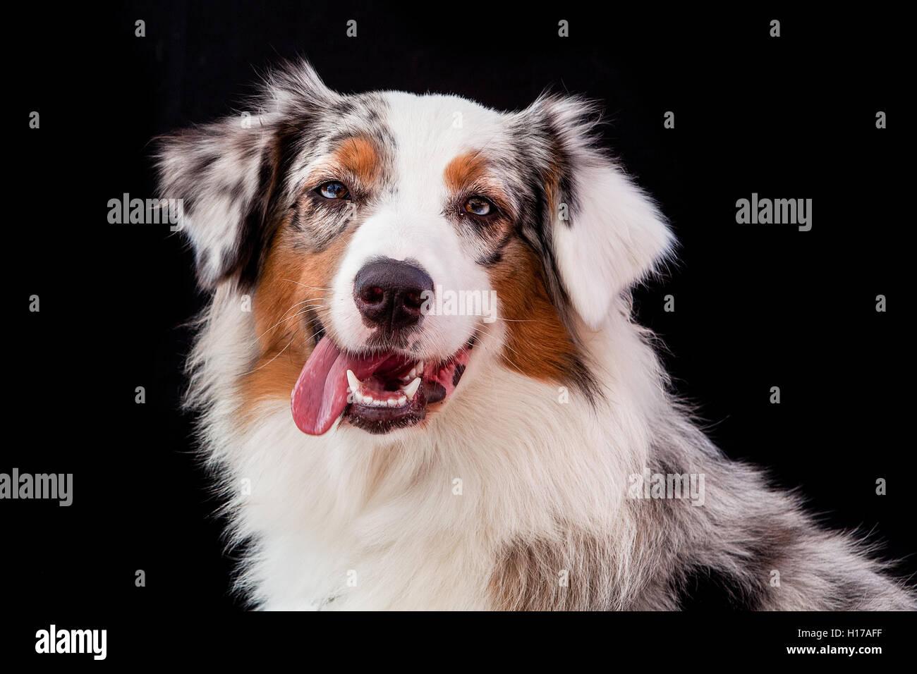 australian dog posing in black backdrop - Stock Image