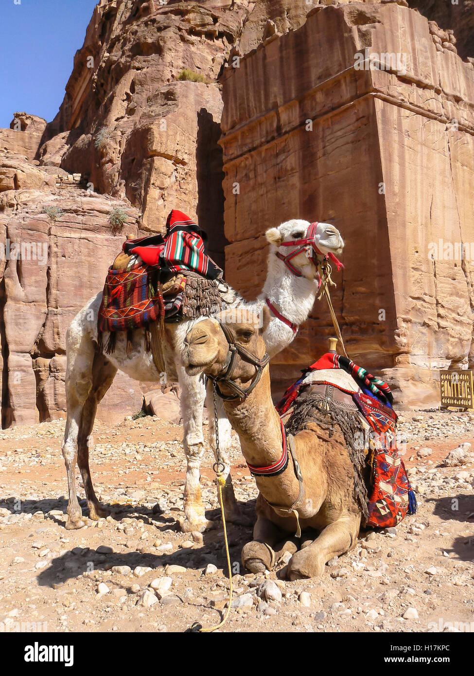 Camels for tourists at Petra, Jordan - Stock Image