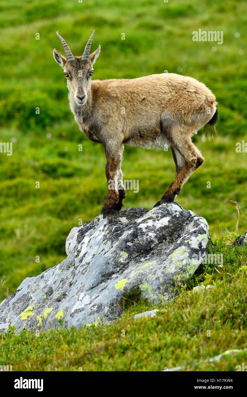 Young Alpine ibex (Capra ibex) standing on a rock, Bernese Oberland, Canton of Bern, Switzerland - Stock Image