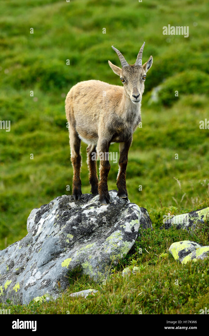 Young Alpine ibex (Capra ibex) standing on a rock, Bernese Oberland, Canton of Bern, Switzerland - Stock Image