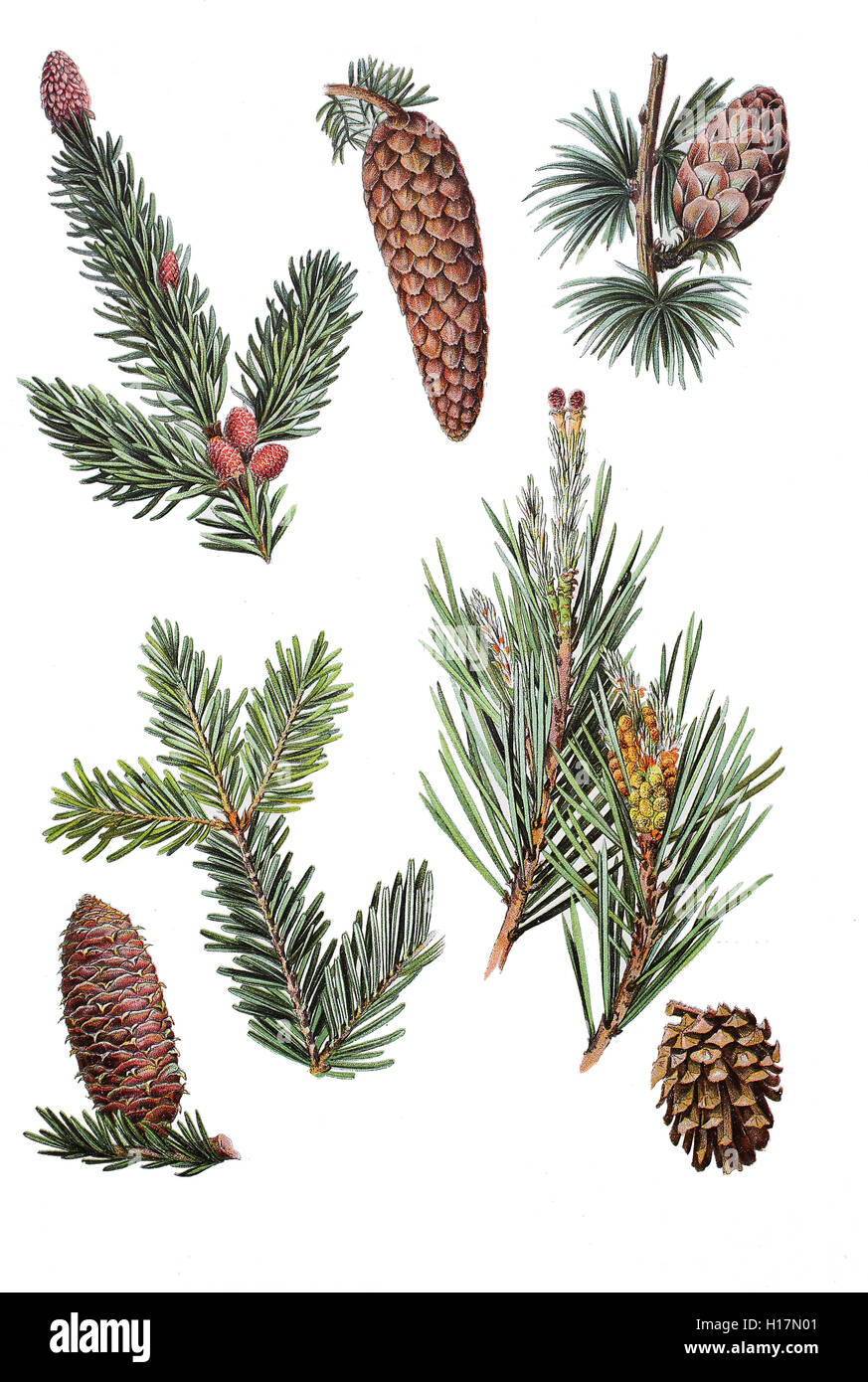 zweige und zapfen gemeine fichte picea abies oben links stock photo 121257361 alamy. Black Bedroom Furniture Sets. Home Design Ideas