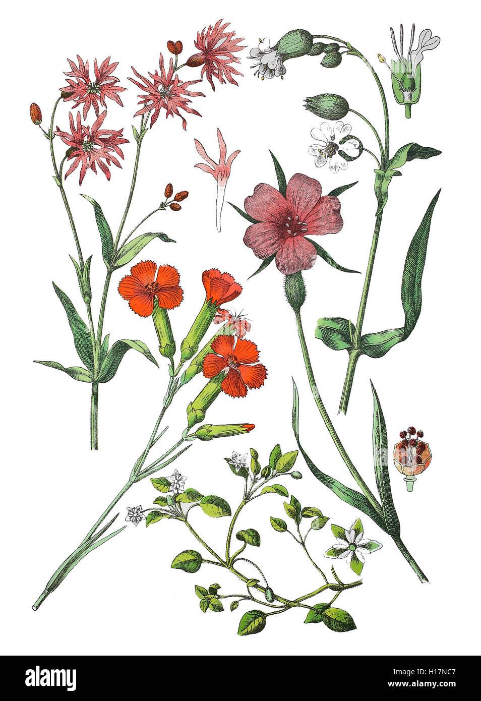 Kuckucks-Lichtnelke, Lychnis flos-cuculi (links oben), Gartennelke, Landnelke oder Edel-Nelke, Dianthus caryophyllus - Stock Image