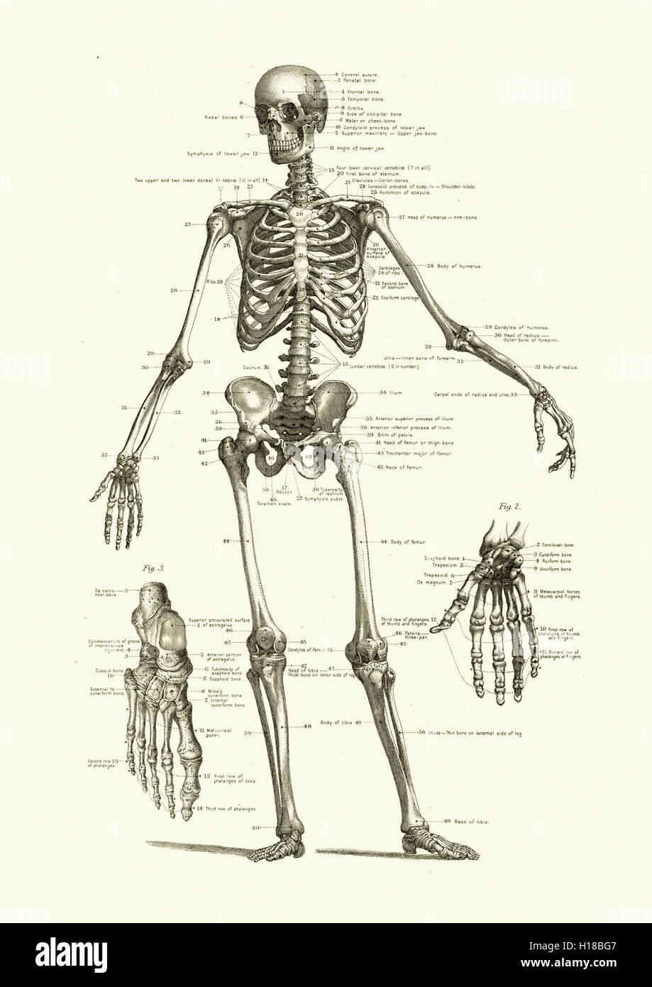 Human skeleton, showing the bones of the body - Stock Image