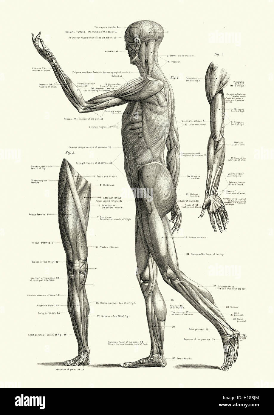 Muscles of the human body - Stock Image