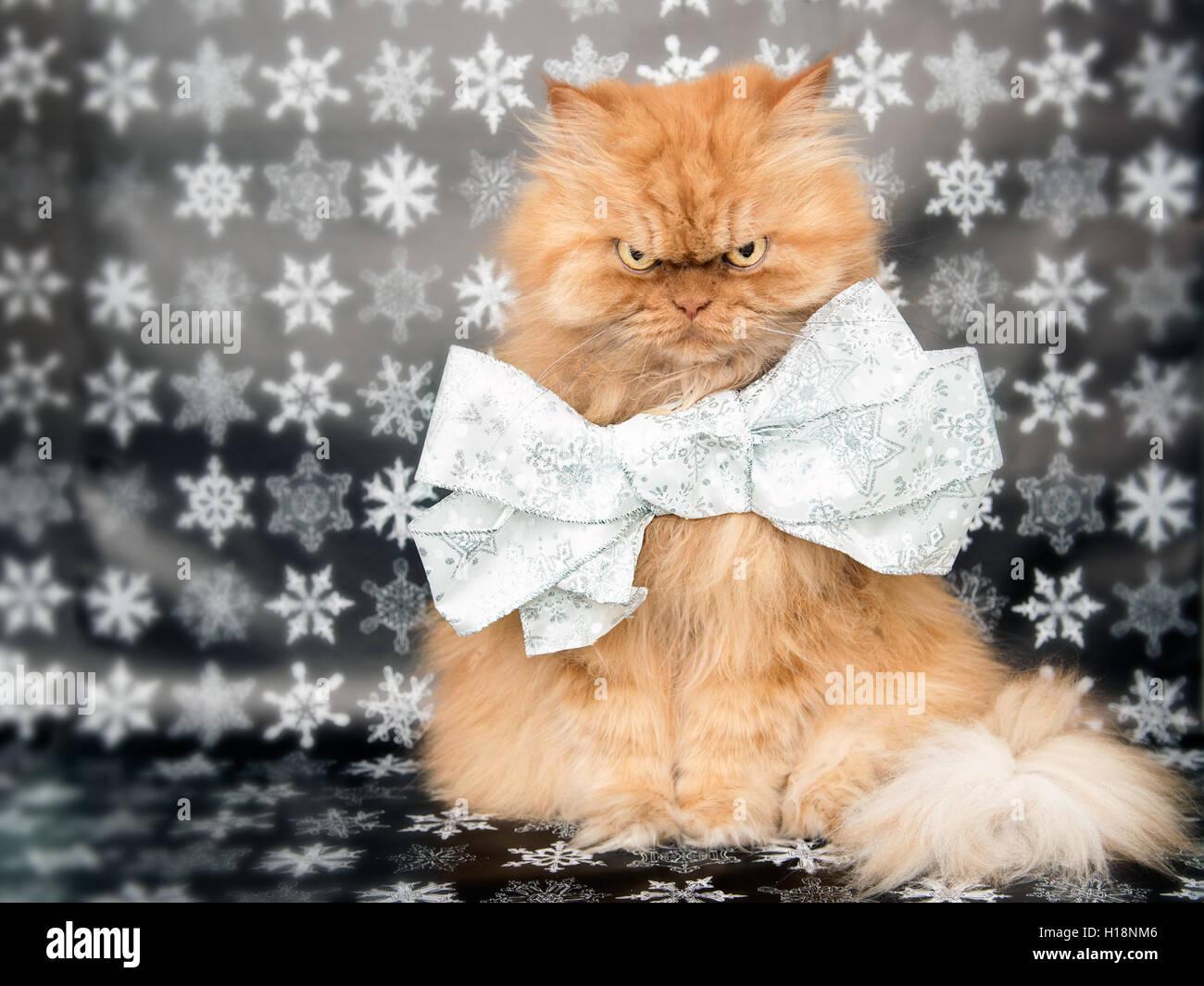 Fluffy Persian cat wearing ribbon - Stock Image
