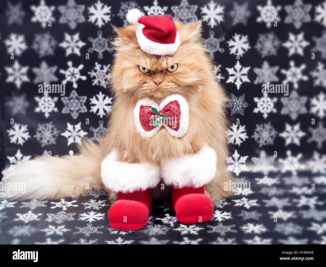 Persian cat in Santa Costume for Christmas - Stock Image