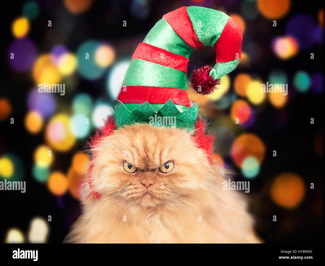 Persian cat wearing holiday elf hat - Stock Image