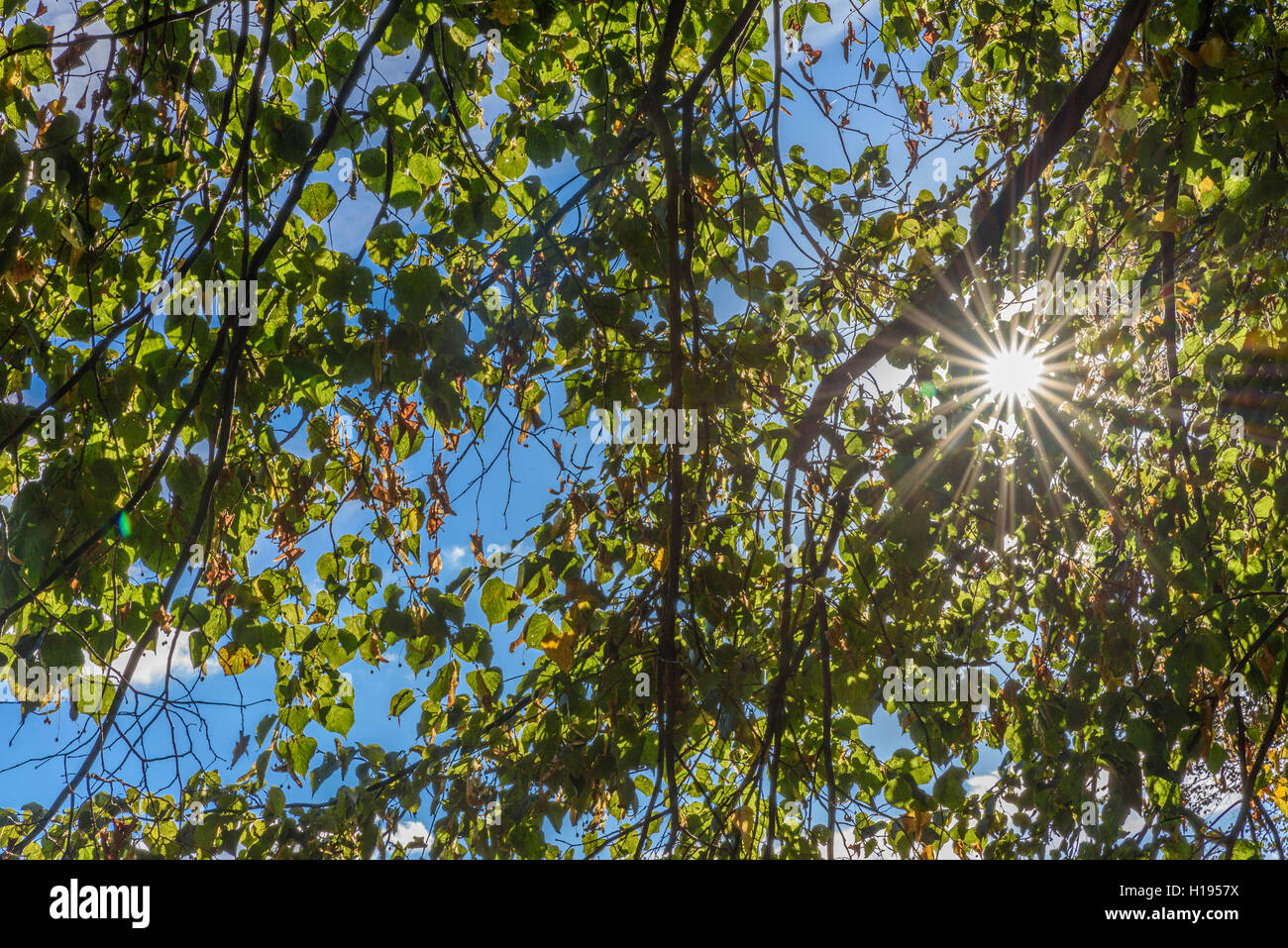 Sunstar through leaves on a tree with blue sky background - Stock Image