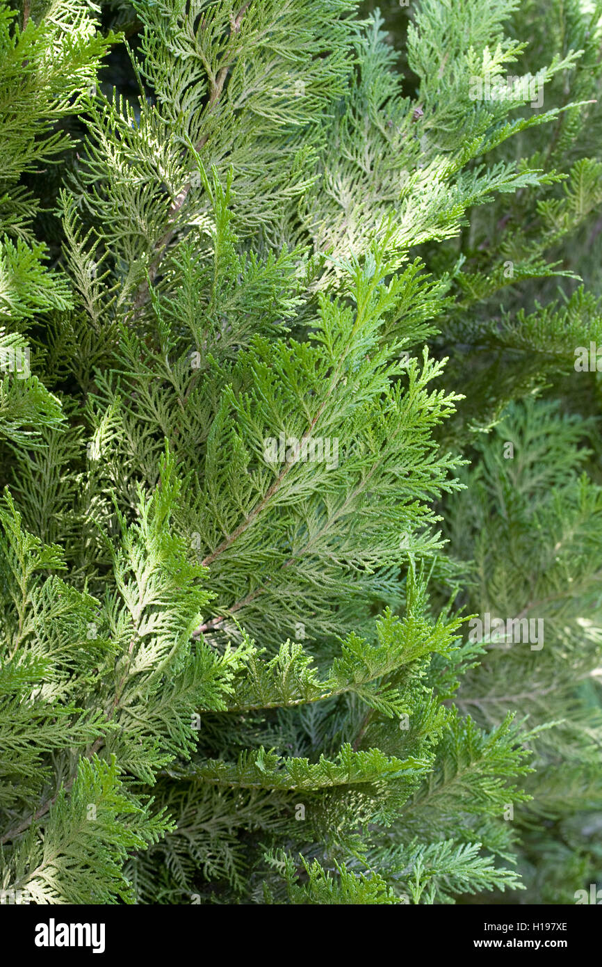 Chamaecyparis lawsoniana 'Green Pillar'. - Stock Image