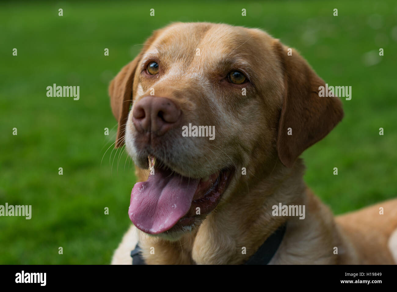 Beautiful Labrador playing in the British sun waiting to fetch a ball. - Stock Image