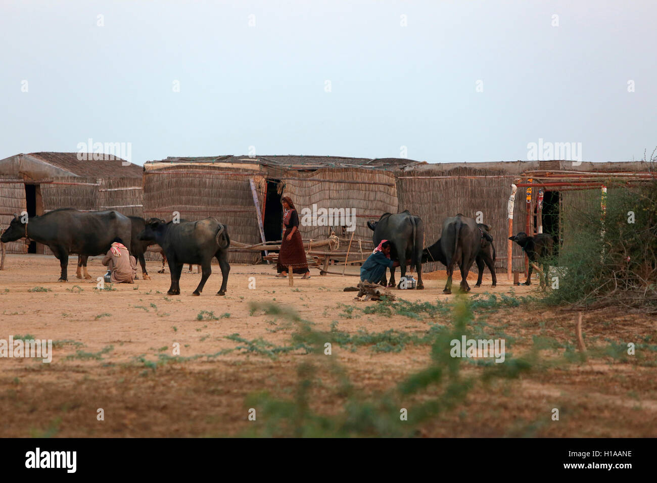 Cattles, Medi Village, Kutch, Gujarat, India - Stock Image