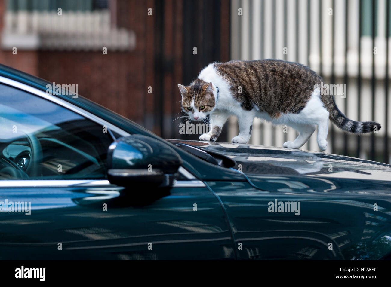 London, UK. 22nd Sep, 2016.  Larry the cat climbs onto a ministerial car outside number 10 Downing Street prior - Stock Image