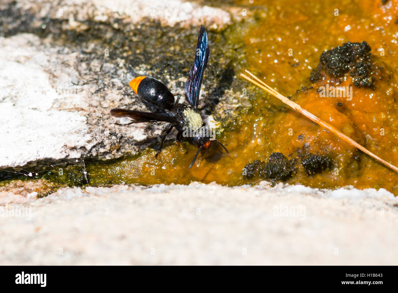 Orange-tailed potter wasp (Synagris analis) drinking from a hot spring - Stock Image