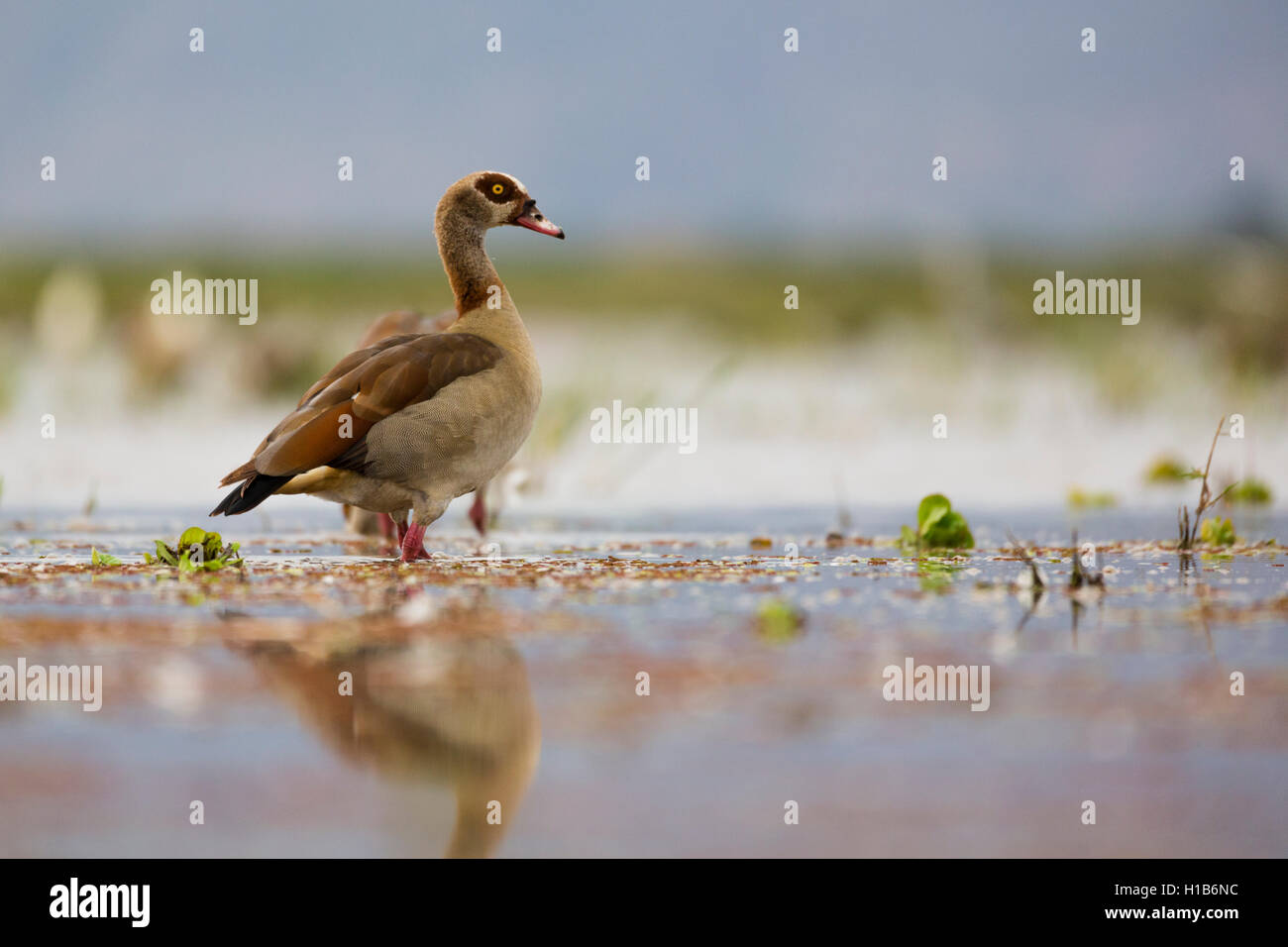 Egyptian goose (Alopochen aegyptiacus) on Lake Manyara, Tanzania - Stock Image