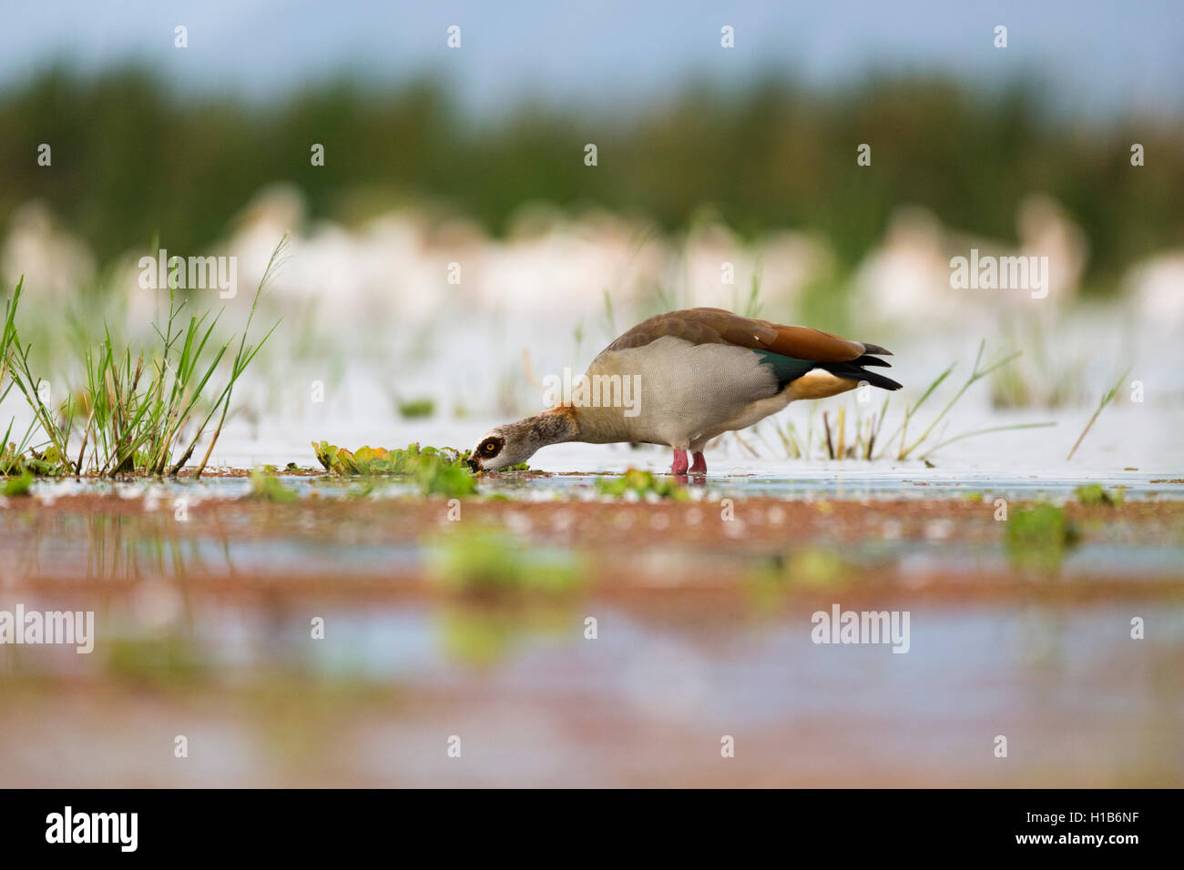 Egyptian goose (Alopochen aegyptiacus) feeding on Lake Manyara, Tanzania - Stock Image